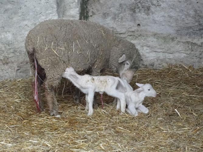 Agnellini appena nati